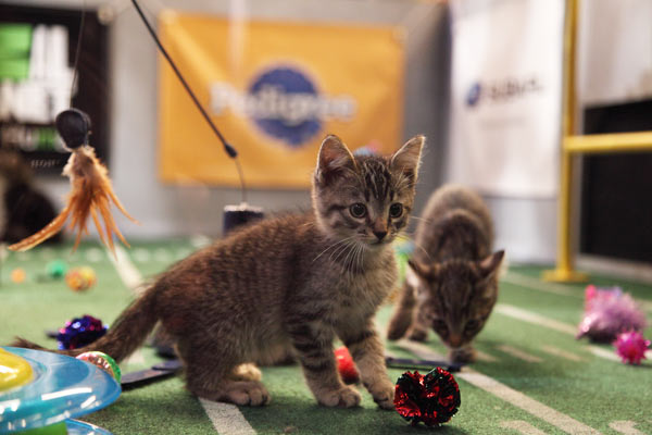 "<div class=""meta ""><span class=""caption-text "">Animal Planet provided KABC-TV this image of kittens playing during Kitty Half-time. (Photo courtesy of Animal Planet / Kim Holcombe)</span></div>"
