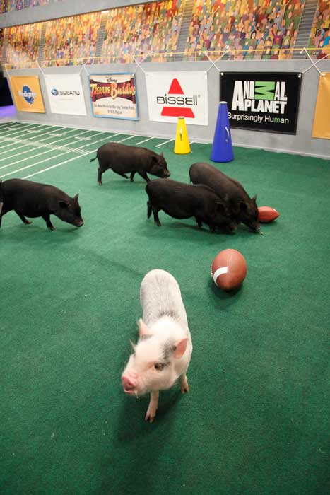 "<div class=""meta ""><span class=""caption-text "">Animal Planet provided KABC-TV this image of the piglets cheering on the pups. (Photo courtesy of Animal Planet / Kim Holcombe)</span></div>"