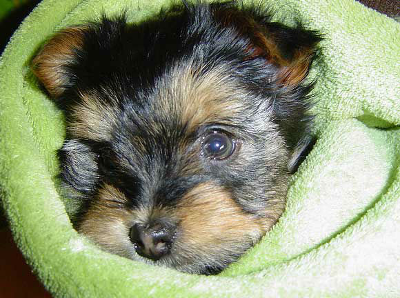 Yorkshire Terriers ranked No. 6 on the American Kennel Club's list of top dog breeds in America. The numbers are based on AKC dog registration statistics for