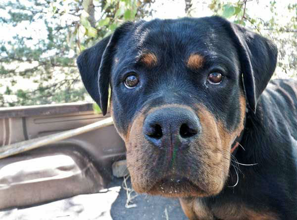 Rottweilers ranked No. 9 on the American Kennel Club's list of top dog breeds in America.