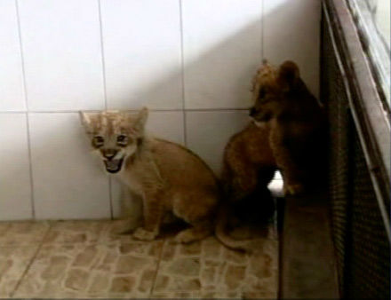 "<div class=""meta image-caption""><div class=""origin-logo origin-image ""><span></span></div><span class=""caption-text"">A set of tigon cubs in China are the offspring of a lioness named Mary and her tiger mate. They were born in December, but recently made their public debut.   Tigons are extremely rare and are the result of a female lion mating with a male tiger. A lyger is the product of a male lion mating with a female tiger.   (KABC Photo)</span></div>"