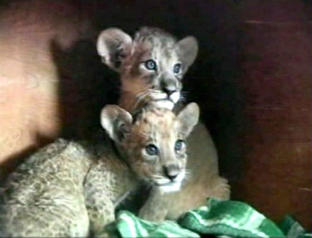"<div class=""meta ""><span class=""caption-text "">A set of tigon cubs in China are the offspring of a lioness named Mary and her tiger mate. They were born in December, but recently made their public debut.   Tigons are extremely rare and are the result of a female lion mating with a male tiger. A lyger is the product of a male lion mating with a female tiger.   (KABC Photo)</span></div>"