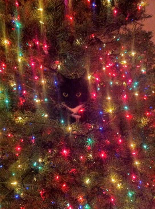 ABC7 viewer Jamey Cobb sent us this photo of his cat hiding in the Christmas tree. &#160;Share your holiday pictures with us on our ABC7 Facebook page. <span class=meta>(ABC7 viewer Jamey Cobb)</span>