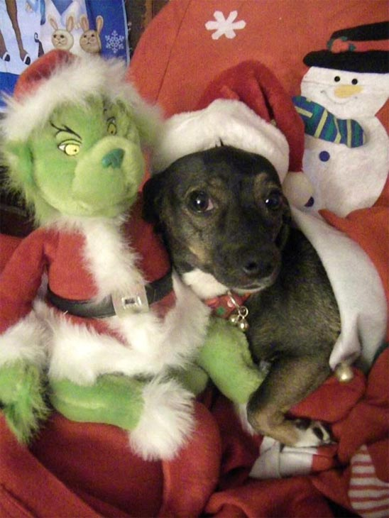 Merry Grinchmas from Edna Cantu&#39;s dog Roxy. &#160;Share your holiday pictures with us on our ABC7 Facebook page. <span class=meta>(ABC7 viewer Edna Cantu)</span>
