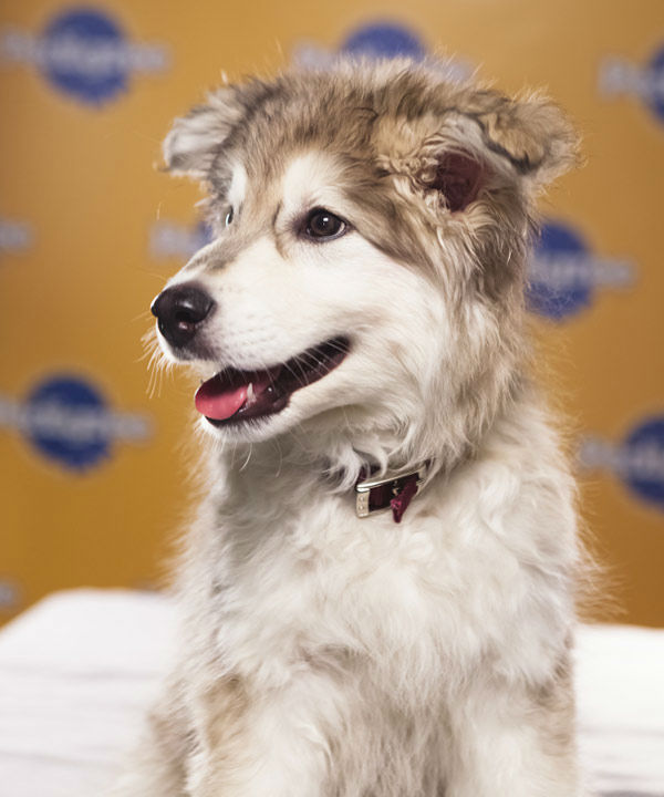 Puppy Bowl IX starter Aurora is a 10-week-old female Siberian Husky-Retriever mix who loves to play. The 2013 Puppy Bowl airs Super Bowl Sunday, Feb. 3, on Animal Planet. <span class=meta>(Animal Planet)</span>