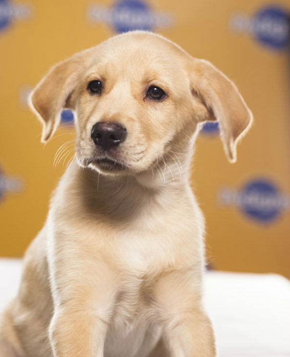 Puppy Bowl IX starter Chestnut is a 9-week-old male Labrador Retriever-Australian Shepherd mix. He loves to play and snuggle.  The 2013 Puppy Bowl airs Super Bowl Sunday, Feb. 3, on Animal Planet. <span class=meta>(Animal Planet)</span>