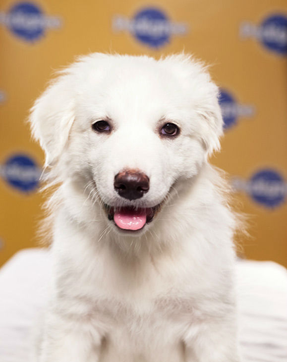 "<div class=""meta image-caption""><div class=""origin-logo origin-image ""><span></span></div><span class=""caption-text"">Puppy Bowl IX starter Juniper is a 12-week-old female Great Pyrenees.  She's both a lover and a fighter!  The 2013 Puppy Bowl airs Super Bowl Sunday, Feb. 3, on Animal Planet. (Animal Planet)</span></div>"