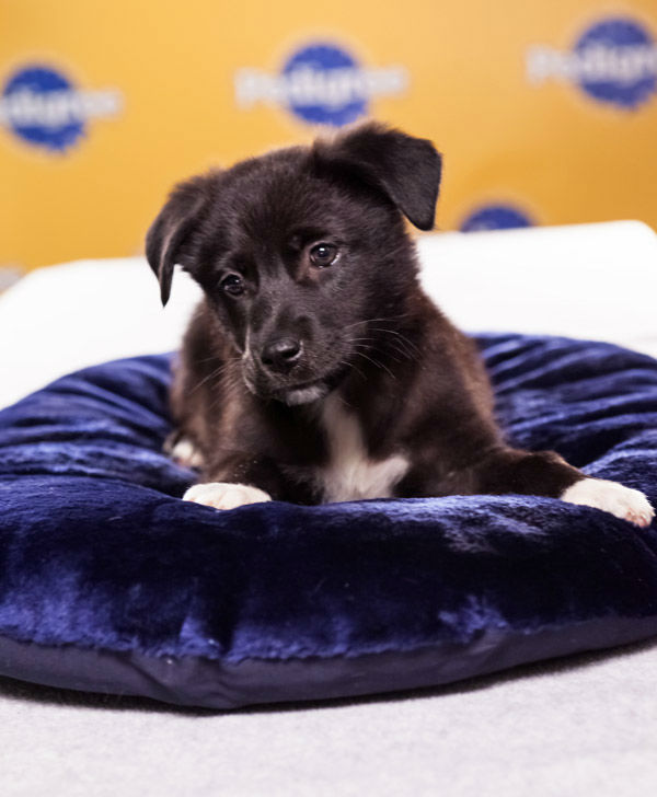 "<div class=""meta image-caption""><div class=""origin-logo origin-image ""><span></span></div><span class=""caption-text"">Puppy Bowl IX starter Magnolia is an 11-week-old female Chow Chow-Labrador Retriever mix. She's very faithful and independent.  The 2013 Puppy Bowl airs Super Bowl Sunday, Feb. 3, on Animal Planet. (Animal Planet)</span></div>"
