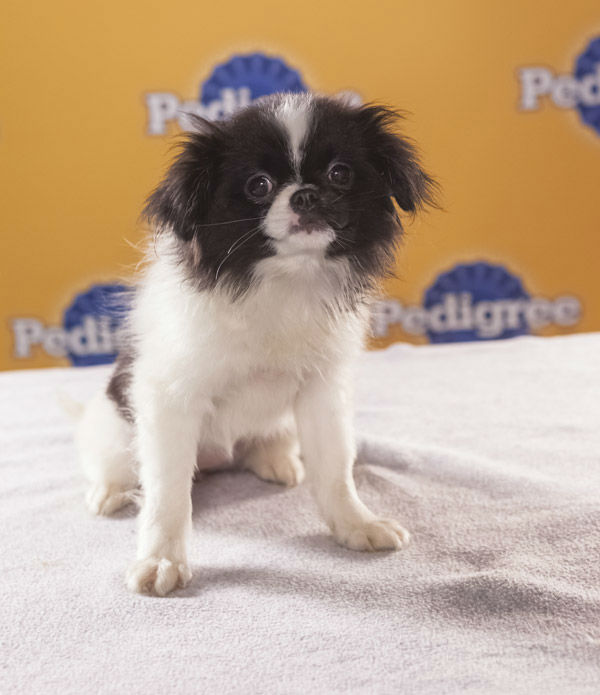 Puppy Bowl IX starter Nala is an 8-week-old female Japanese Chin. She&#39;s sweet and sassy, but can also be very fierce with her brother Simba, who&#39;s also playing in the Puppy Bowl.  The 2013 Puppy Bowl airs Super Bowl Sunday, Feb. 3, on Animal Planet. <span class=meta>(Animal Planet)</span>