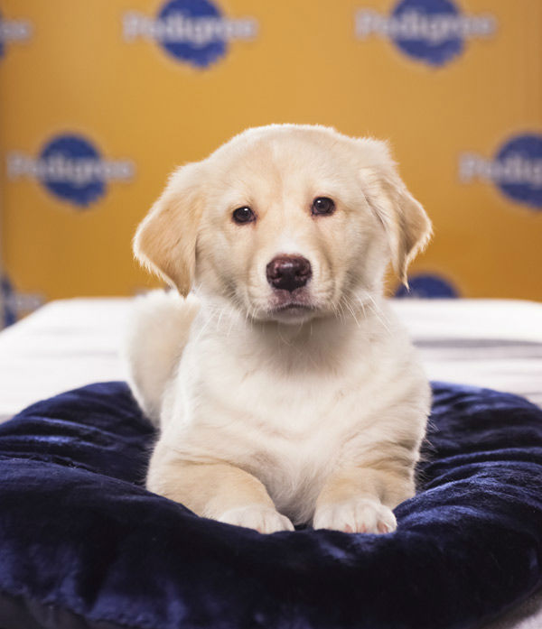 Puppy Bowl IX starter Pearl is a 9-week-old female Australian Catahoula-Labrador Retriever mix. What a gorgeous blonde!  The 2013 Puppy Bowl airs Super Bowl Sunday, Feb. 3, on Animal Planet. <span class=meta>(Animal Planet)</span>