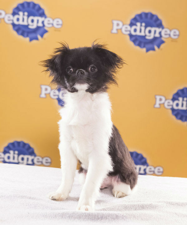Puppy Bowl IX starter Simba is an 8-week-old male Japanese Chin. He&#39;s very playful &#40;especially with sister Nala&#41; and confident with other dogs.  The 2013 Puppy Bowl airs Super Bowl Sunday, Feb. 3, on Animal Planet. <span class=meta>(Animal Planet)</span>
