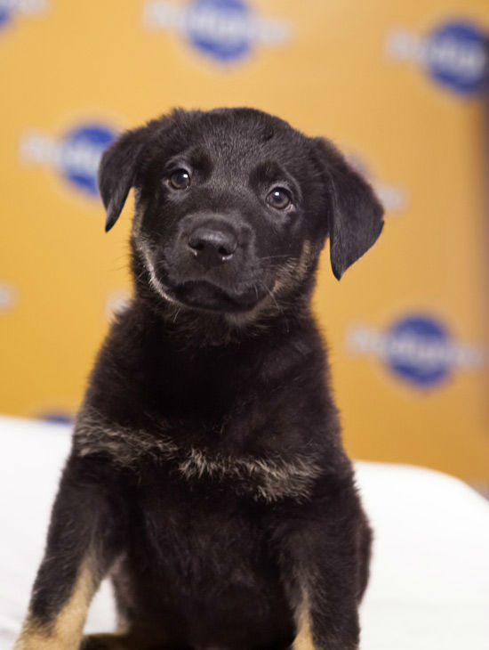 Puppy Bowl IX starter Tuck, a 10-week-old male German Shepherd-Pit mix. He&#39;s the only black pup in his litter of six!  The 2013 Puppy Bowl airs Super Bowl Sunday, Feb. 3, on Animal Planet. <span class=meta>(Animal Planet)</span>