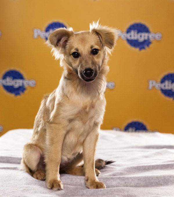 Puppy Bowl IX starter Willis is a 4-month-old female Long-Haired Chihuahua mix. She&#39;s a loving pup with funny ears.  The 2013 Puppy Bowl airs Super Bowl Sunday, Feb. 3, on Animal Planet. <span class=meta>(Animal Planet)</span>
