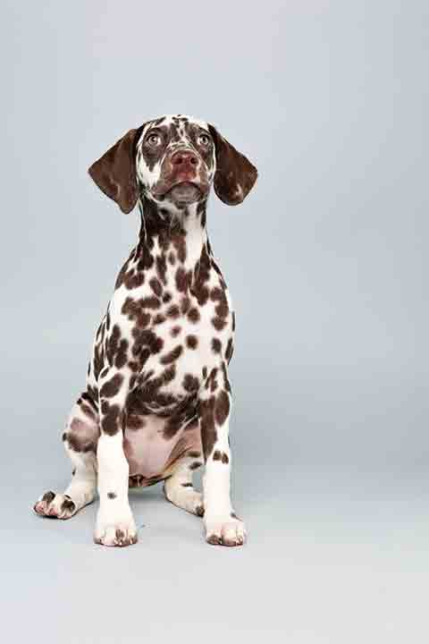 "<div class=""meta image-caption""><div class=""origin-logo origin-image ""><span></span></div><span class=""caption-text"">Puppy Bowl X starter Aurora is a 12-week-old female Dalmation who loves to play. The 2014 Puppy Bowl airs Super Bowl Sunday, Feb. 2, on Animal Planet. (Keith Barraclough/Animal Planet)</span></div>"