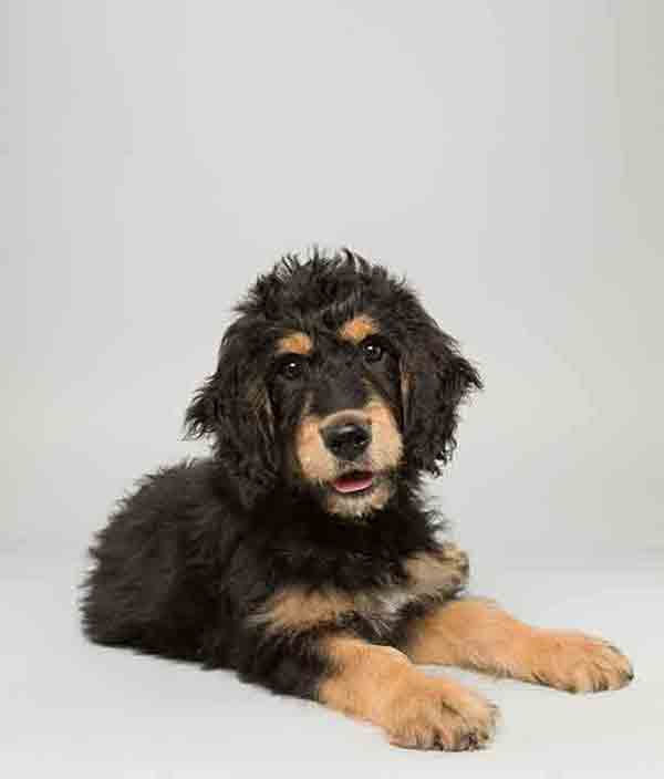 Puppy Bowl X starter Bach is a 14-week-old male Bernedoodle who loves to play. The 2014 Puppy Bowl airs Super Bowl Sunday, Feb. 2, on Animal Planet. <span class=meta>(Keith Barraclough&#47;Animal Planet)</span>