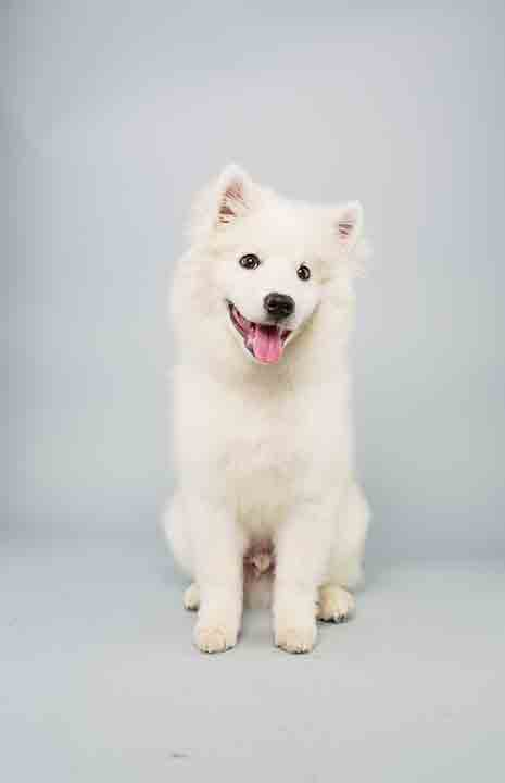 Puppy Bowl X starter Brody is a 15-week-old male American Eskimo who loves to play.  The 2014 Puppy Bowl airs Super Bowl Sunday, Feb. 2, on Animal Planet. <span class=meta>(Keith Barraclough&#47;Animal Planet)</span>