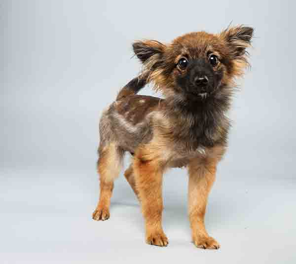 Puppy Bowl X starter Danny is a 12-week-old male Papillon Mix who loves to play. The 2014 Puppy Bowl airs Super Bowl Sunday, Feb. 2, on Animal Planet. <span class=meta>(Keith Barraclough&#47;Animal Planet)</span>