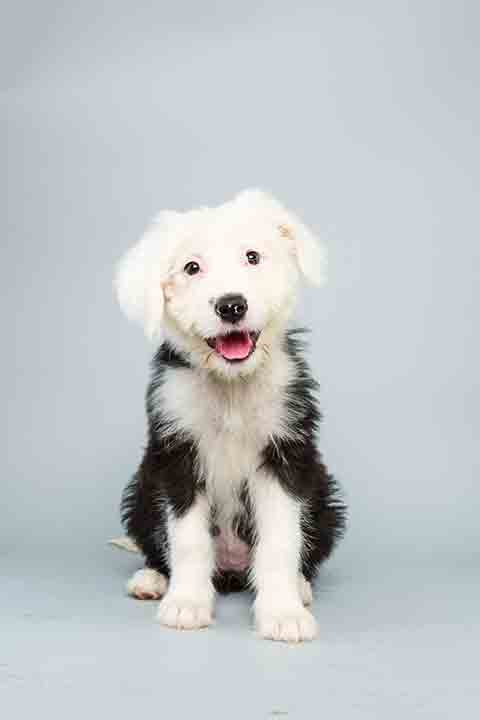 Puppy Bowl X starter Ginger is a 12-week-old female Old English Sheep Dog who loves to play. The 2014 Puppy Bowl airs Super Bowl Sunday, Feb. 2, on Animal Planet. <span class=meta>(Keith Barraclough&#47;Animal Planet)</span>