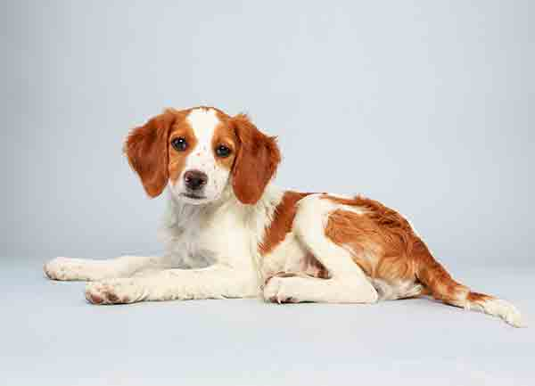 "<div class=""meta ""><span class=""caption-text "">Puppy Bowl X starter Laney is a 13-week-old male Brittany Spaniel Mix who loves to play. The 2014 Puppy Bowl airs Super Bowl Sunday, Feb. 2, on Animal Planet. (Keith Barraclough/Animal Planet)</span></div>"