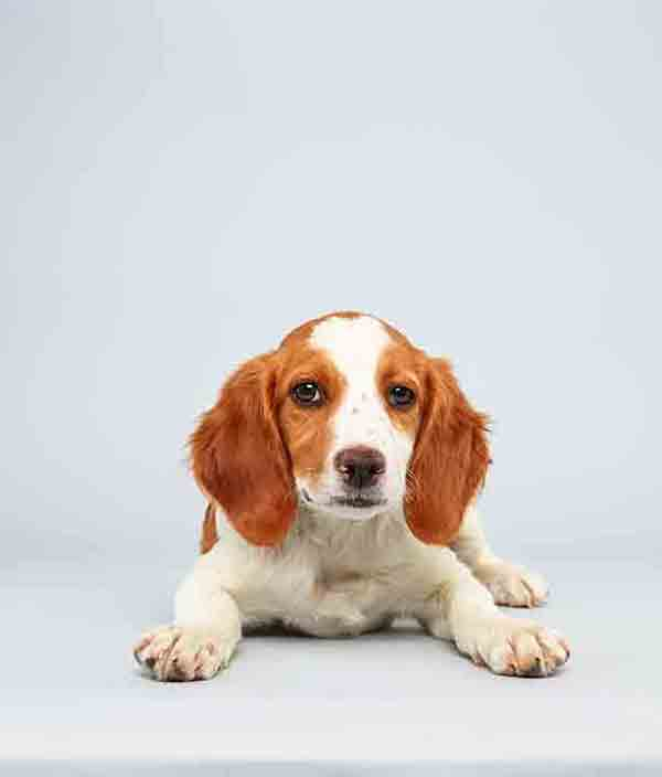 Puppy Bowl X starter Laney is a 13-week-old male Brittany Spaniel Mix who loves to play. The 2014 Puppy Bowl airs Super Bowl Sunday, Feb. 2, on Animal Planet. <span class=meta>(Keith Barraclough&#47;Animal Planet)</span>