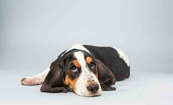 Puppy Bowl X starter Lily is a 13-week-old female Basset Hound who loves to play. The 2014 Puppy Bowl airs Super Bowl Sunday, Feb. 2, on Animal Planet. <span class=meta>(Keith Barraclough&#47;Animal Planet)</span>