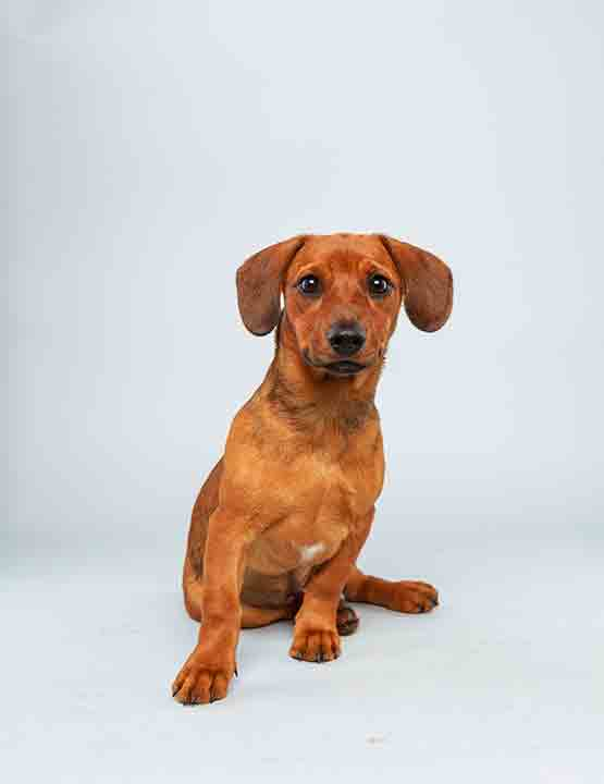 Puppy Bowl X starter Mandy is a 17-week-old female Dachschund Hound Mix who loves to play. The 2014 Puppy Bowl airs Super Bowl Sunday, Feb. 2, on Animal Planet. <span class=meta>(Keith Barraclough&#47;Animal Planet)</span>