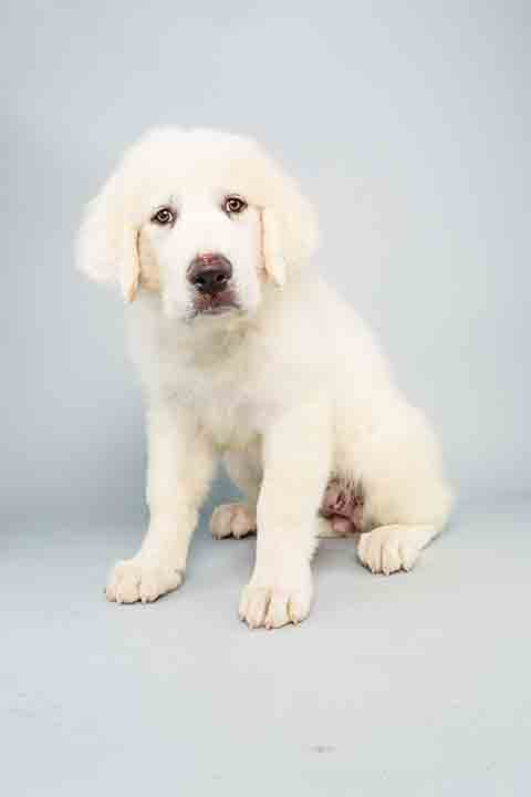 "<div class=""meta ""><span class=""caption-text "">Puppy Bowl X starter Shyla is a 14-week-old female Great Pyrenees who loves to play. The 2014 Puppy Bowl airs Super Bowl Sunday, Feb. 2, on Animal Planet. (Keith Barraclough/Animal Planet)</span></div>"