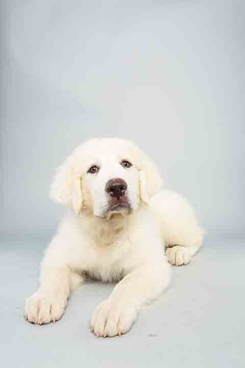 Puppy Bowl X starter Shyla is a 14-week-old female Great Pyrenees who loves to play. The 2014 Puppy Bowl airs Super Bowl Sunday, Feb. 2, on Animal Planet. <span class=meta>(Keith Barraclough&#47;Animal Planet)</span>