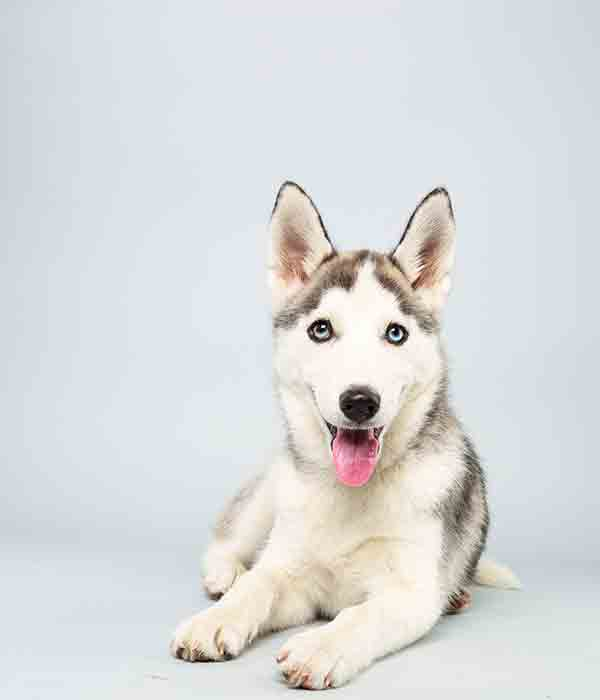 Puppy Bowl X starter Suri is a 14-week-old female Siberian Huskey who loves to play. The 2014 Puppy Bowl airs Super Bowl Sunday, Feb. 2, on Animal Planet. <span class=meta>(Keith Barraclough&#47;Animal Planet)</span>