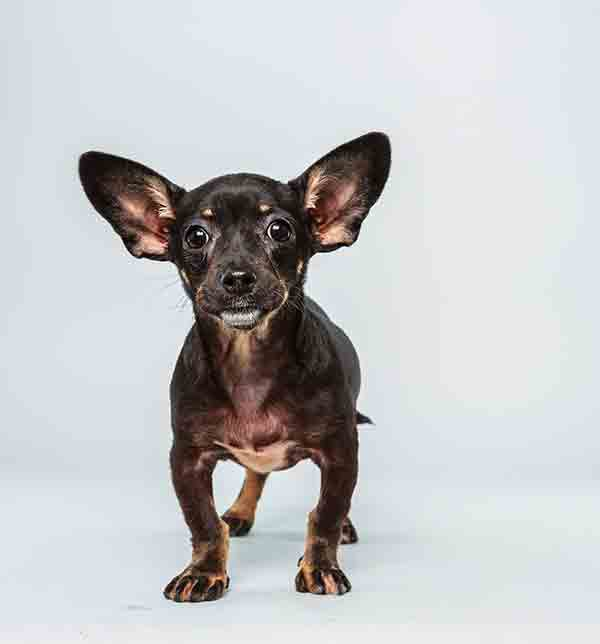 Puppy Bowl X starter Ullie is a 12-week-old male Chihuahua Dachsund Mix who loves to play. The 2014 Puppy Bowl airs Super Bowl Sunday, Feb. 2, on Animal Planet. <span class=meta>(Keith Barraclough&#47;Animal Planet)</span>