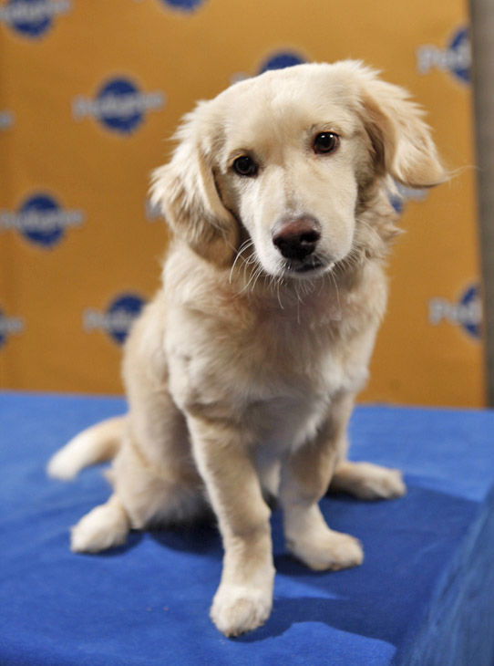 Animal Planet provided KABC-TV this image of Amy, an 18-month-old Golden Retriever-Corgi mix from the Annapolis Dog Rescue.