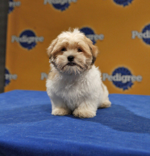 Animal Planet provided KABC-TV this image of Chih, an 11-week-old Shih Tzu. Puppy Bowl VII airs on Animal Planet on Sunday, Feb. 6 at 3 p.m.  ET&#47;PT. <span class=meta>(Photo courtesy of Animal Planet)</span>