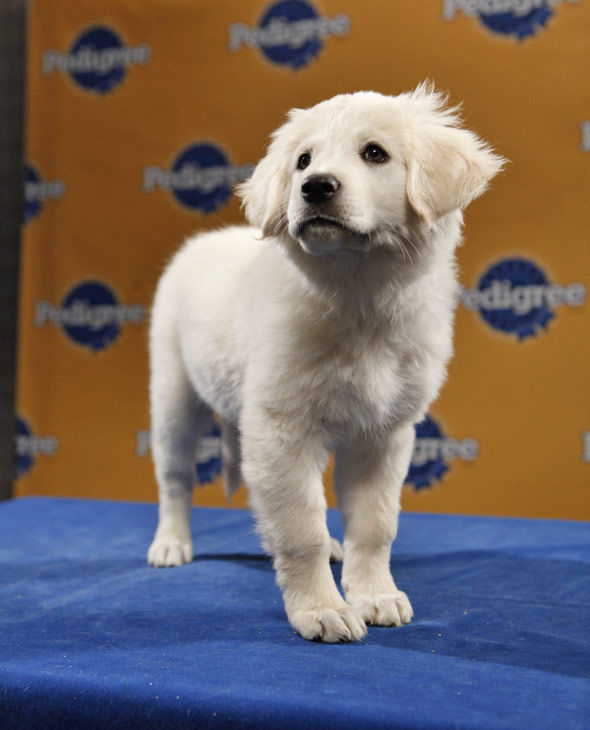"<div class=""meta ""><span class=""caption-text "">Animal Planet provided KABC-TV this image of Mae, a 9-week-old Great Pyrenees-Newfoundland mix. Puppy Bowl VII airs on Animal Planet on Sunday, Feb. 6 at 3 p.m.  ET/PT. (Photo courtesy of Animal Planet)</span></div>"