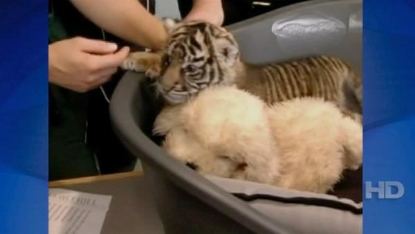 Three-and-a-half-week-old female tiger baby Daseep is presented at the zoo of Frankfurt, central Germany, Wednesday, Oct. 6, 2010. The small tiger was born on Sept. 10, and raised by hand. A brother died right after its birth.