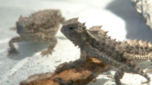 Nine giant horned lizards hatched at the Los Angeles Zoo, which is the first ever hatching in a North American zoo. When they first hatched in November, they were about the size of a nickel. They should grow to 10 inches full size.