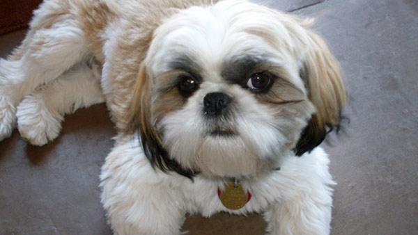 Shih Tzu ranked No. 10 on the American Kennel Club's list of top dog br