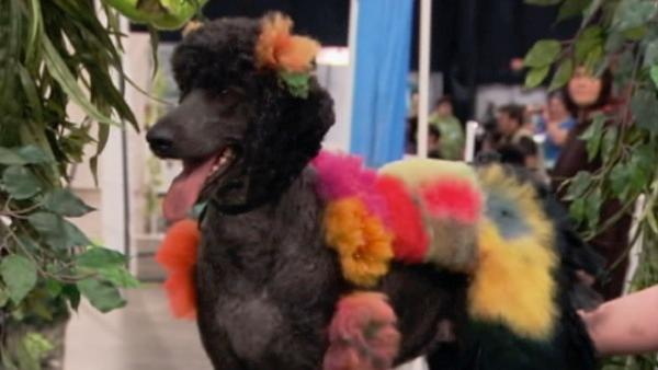 A dog appears at Intergroom's Creative Challenge, an extreme hairstyling competition where dogs are sculpted and colored into pieces of furry art. Extreme grooming brings together 3,000 professional animal groomers from across the globe.