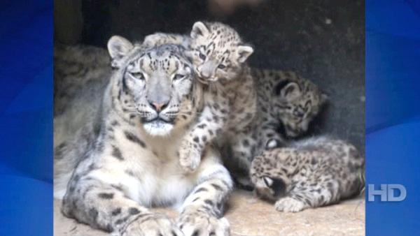 A trio of rare snow leopard cubs made their public debut at Basel Zoo in northwestern Switzerland on Wednesday, June 15, 2011. Snow leopards are an endangered species and only 4,000-6,000 are believed to still live in the wild.
