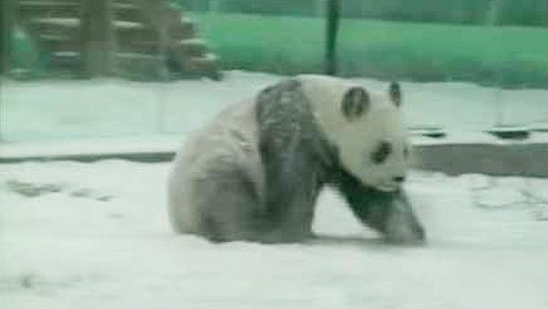 Chinese giant pandas enjoy nature reserve snow