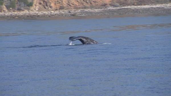There have already been 134 confirmed whale sightings in the South Bay this month, making it the busiest December in 28 years.