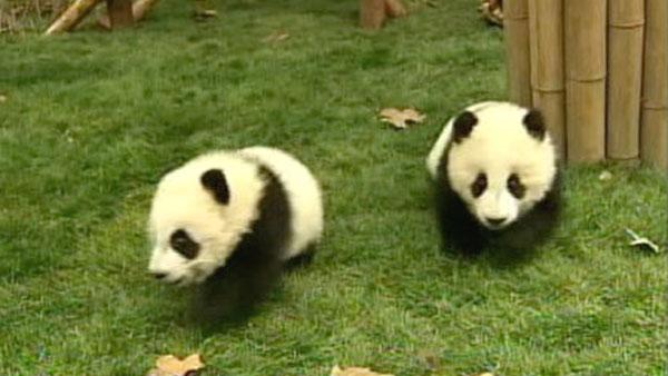 Twelve baby giant pandas are adjusting in their new home in China's southwest Sic