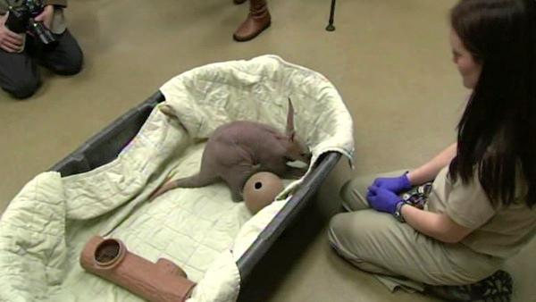 A baby aardvark recently was born at the Brookfield Zoo in Illinois. Zookeepers say only 28 of the South African animals can be found at zoos across North America.