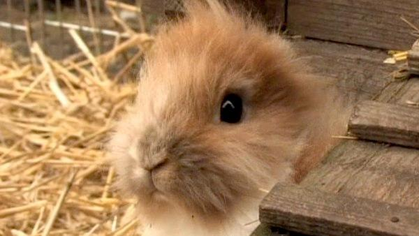Pinocchio, a 9-month-old bunny, is an unusual attraction in Bennewitz, Germany. He was born healthy, just without ears. Both of his parents are said to have normal ears.