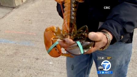A fisherman shows off a two-toned lobster he caught off the Nova Scotia coast.