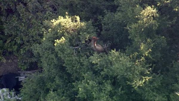 A black bear is seen on a tree near the intersection of San Dimas Canyon Road and Baseline Road in San Dimas on Tuesday, June 26, 2012.