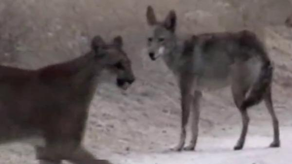 Caught on tape: Coyote, mountain lion meet