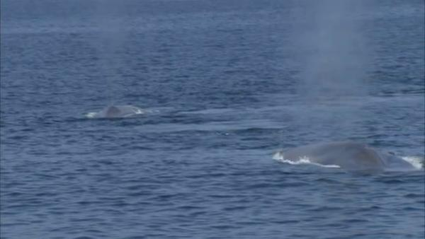 Blue whales spotted off Palos Verdes coast
