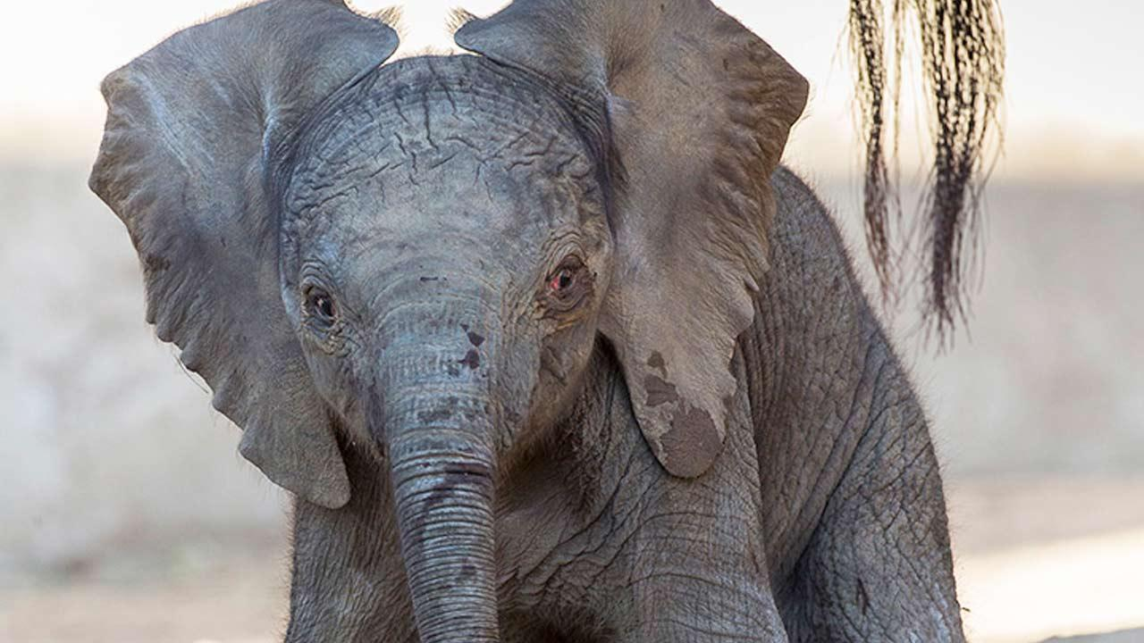 A baby elephant was born at the San Diego Zoo Safari Park at 3:39 a.m. Tuesday.