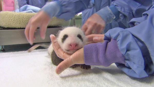 Veterinarians at the San Diego Zoo say the panda born in July is a boy! The little guy is putting on weight and is said to be doing very well. It takes a few months to determine the sex of panda bears after birth, but zoo officials say they're sure.
