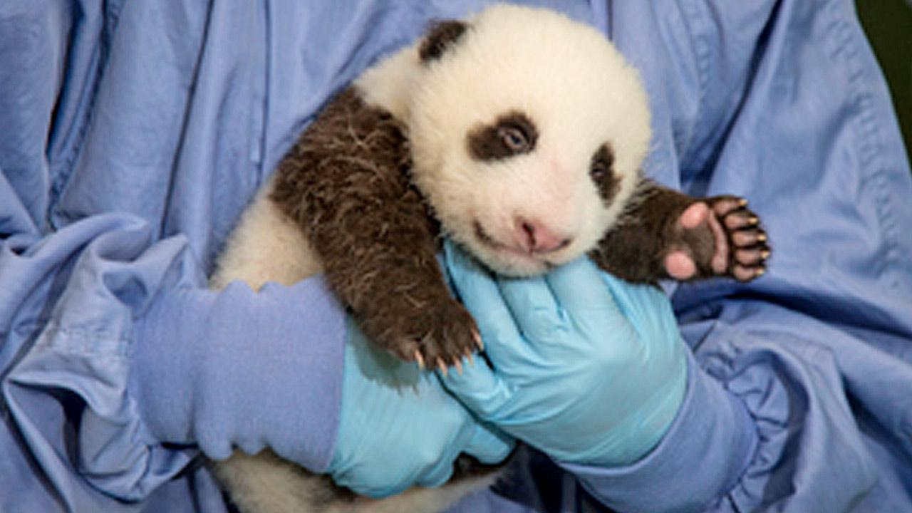 The San Diego Zoos newest panda cub is shown in this 2012 photo.